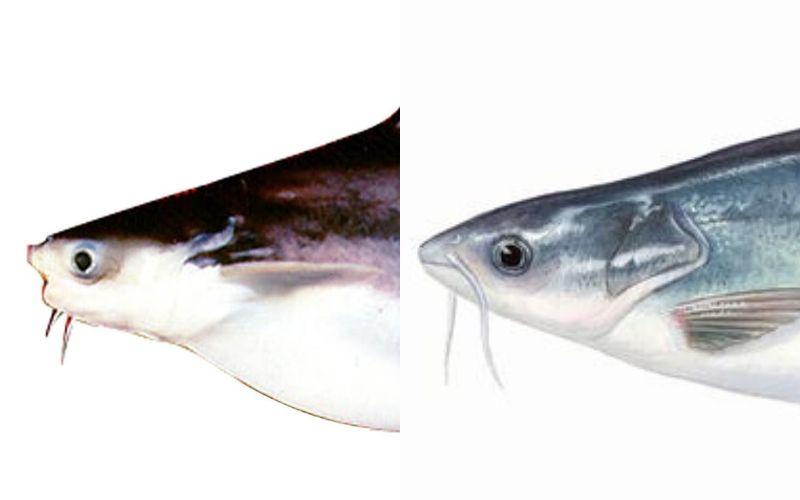 Cách phân biệt cá tra và cá basa